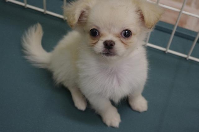 ペキニーズ×チワワ の子犬販売情報【子犬販売 Puppy\u0027sRing】