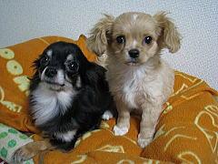 チワワミックス犬でオススメな種類